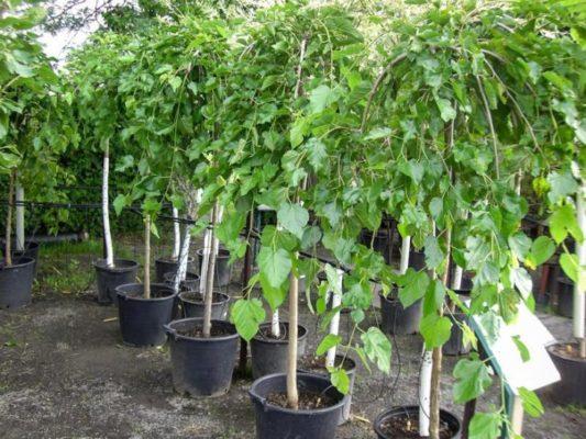 Шелковица: выращивание и уход