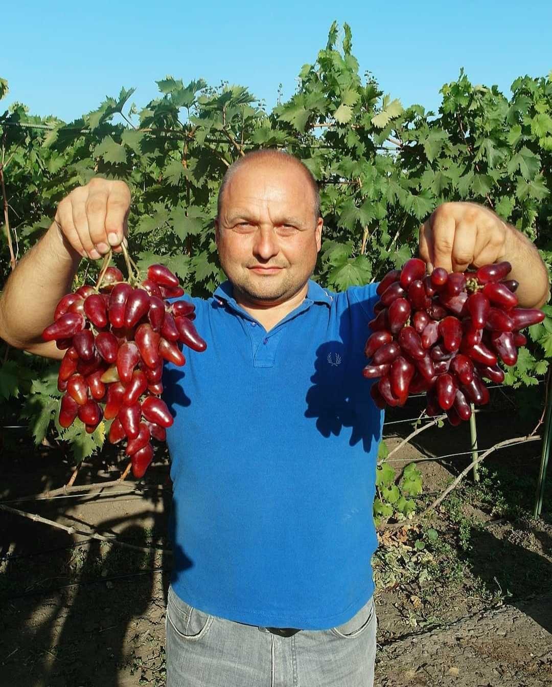 Где купить морозостойкие саженцы винограда