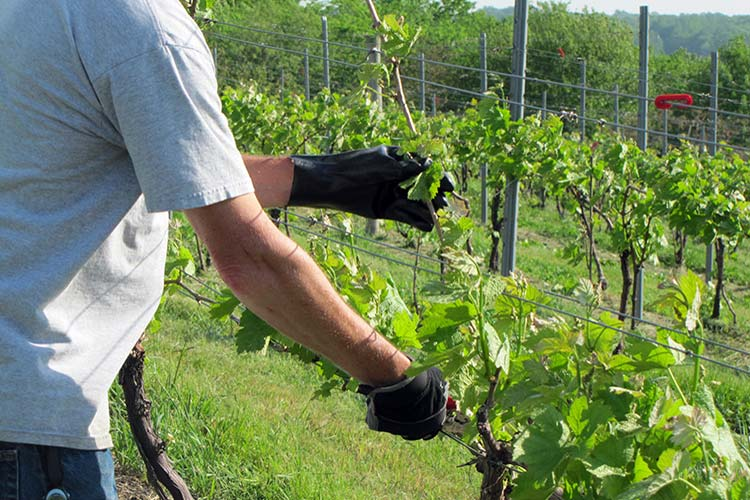 Навіщо потрібна обрізка винограду